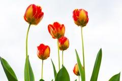 Guling-röd tulpan efter regnnärbild Royaltyfria Bilder