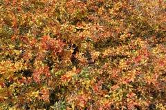 Guling-röda sidor av en buske Arkivbild
