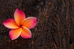 Guling-rosa färger plumeriablommor arkivfoton