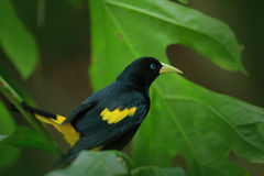 Guling-rumpedCacique, Cacicuscela, i naturlivsmiljön Den svarta fågeln med guling påskyndar i den gröna vegetationen Widl fågel f Arkivbild
