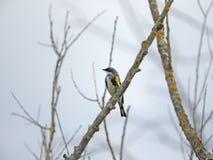 Guling-rumpedsångaren fladdrar längs ett träskträd royaltyfria foton