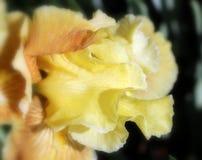 Guling skäggiga Iris Blossom i vårsolljus royaltyfri bild