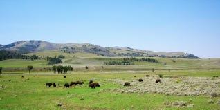 Guling stenar nationalparken med bisonar arkivfoto
