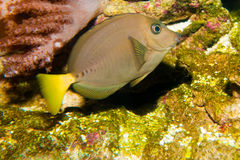 Guling Tailed rakknivSurgeonfish Royaltyfri Fotografi