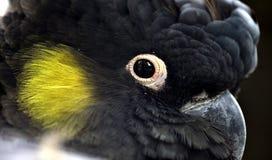 Guling-tailed Svart-kakadua Arkivbilder