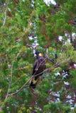 Guling-tailed svart kakaduasammanträde i ett träd Royaltyfri Fotografi