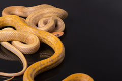 Guling tjaller ormen på svart bakgrund Royaltyfri Fotografi
