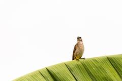 Guling-vädrat Bulbulsammanträde på bananbladfrunch som äter avmaskar Royaltyfria Foton