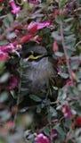 Guling vände mot den australiska infödda fågeln för honeyeater royaltyfri fotografi