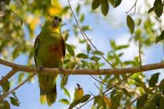Guling-vänt mot papegojasammanträde på filial Royaltyfri Foto