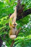 Guling vara fräck mot gibbon på träd Royaltyfri Bild