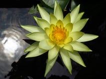 Guling waterlily Fotografering för Bildbyråer