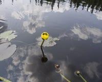 Guling waterlily i blom på sjön Royaltyfri Bild