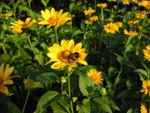 Gulingblommor (asteraceae) och en humla Royaltyfri Foto