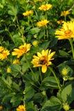 Gulingblommor (asteraceae) och gräsplansidor Arkivfoto