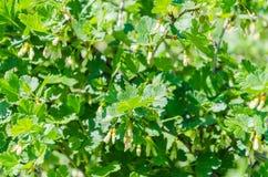 Gulingblommor av den guld- vinbäret Royaltyfri Bild