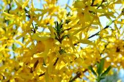 Gulingblommor av forsythia blommar i trädgården Arkivbilder