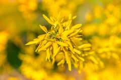 Gulingblommor av forsythia i blom på nätt solig vårdag Arkivbild