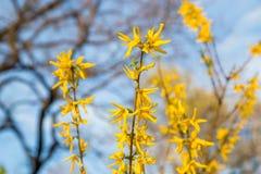 Gulingblommor av forsythia i blom på nätt solig vårdag Royaltyfri Foto