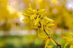 Gulingblommor av forsythia i blom på nätt solig vårdag Royaltyfria Foton