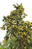 Gulingblommor av kaktuns arkivfoton