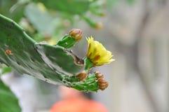 Gulingblommor av kaktuns royaltyfria foton