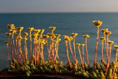 Gulingblommor, blomma på havsbakgrunden, natur Arkivfoto