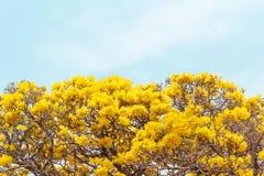 Gulingblommor för slut blomstrar upp i vårtid på himmelbakgrund Royaltyfri Bild