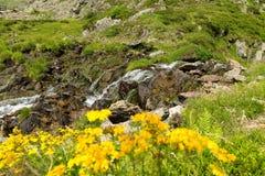 Gulingblommor och liten vattenfall i berg Arkivbilder