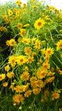 Gulingen blommar i trädgård royaltyfri fotografi