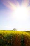 Gulingfält av rapsen med solstrålar Fotografering för Bildbyråer