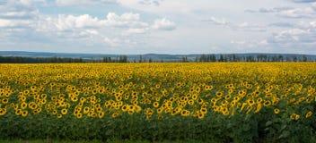 Gulingfält av solrosor Royaltyfria Foton