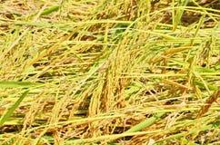 Gulinggrova spikar i skördfält Arkivfoto