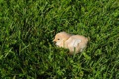 Gulinghönor i gröna gras i sommar royaltyfria bilder