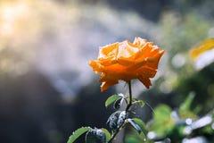 Gulingros i trädgården i droppar av dagg på en härlig bakgrund i solljus Selektivt fokusera arkivfoto