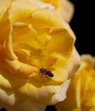 Gulingros med biet Fotografering för Bildbyråer
