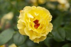 Gulingros med sidor i trädgården royaltyfri fotografi