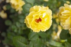 Gulingros med sidor i trädgården royaltyfria foton