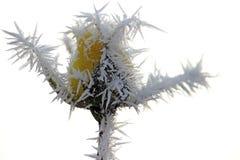 Gulingrosknopp som täckas med morgonfrost Royaltyfri Fotografi