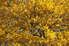 Gulingsidor av aska-trädet i solljus i höst arkivfoto