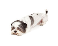 Gulity Looking Lhasa Apso Dog Laying Down. With head on the ground while looking upwards royalty free stock photo