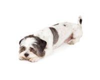 Gulity Looking Lhasa Apso Dog Laying Down Royalty Free Stock Photo