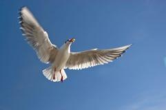 gull море Стоковые Фото