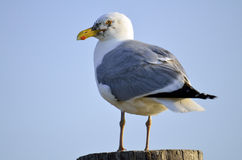 gull сельди Стоковое Фото