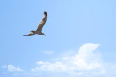 Gull. Flying seagull in the blue sky Royalty Free Stock Photography