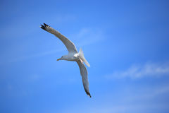 Gull. A flying seagull with blue background Stock Images