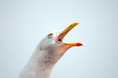 Gull. Sea Gull Screaming Stock Images