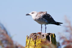 Gull. A gull standing on a column stock image