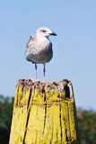 Gull. A gull standing on a column royalty free stock photo
