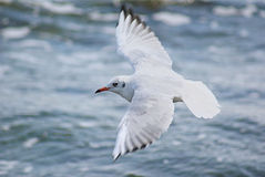 Gull. White gul with red beak, flying under blue sea Stock Photos